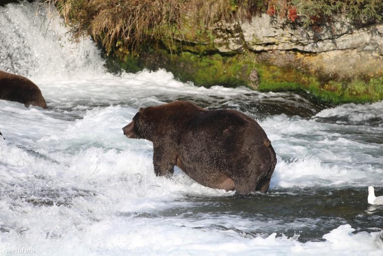 Lady Beadnose egyébként tizenegy másik medvét utasított maga mögé ezzel a tekintélyes pocakkal.