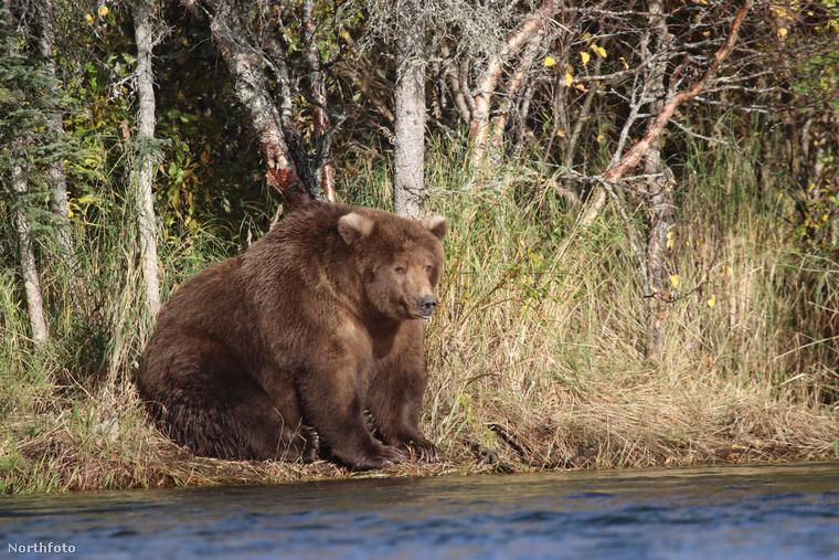 Talán észre sem vette, de a héten lezajlott az év egyik legszórakoztatóbb szépségversenye, a Katmai Nemzeti Park által hirdetett Legkövérebb medve verseny, aminek során - értelemszerűen -, a terület legtestesebb egyedét keresték