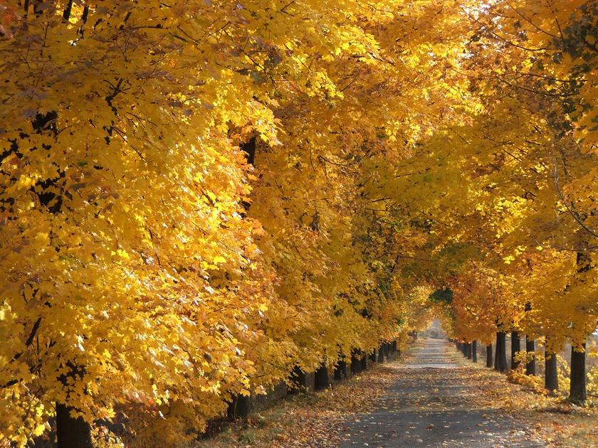 A Bánhorváti és Dédestapolcsány között található fasor aranysárga lombján játszó napfény gyönyörű látvány.