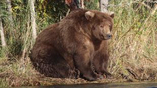 Azok a hurkák! Az a gigantikus has! Ez a medvehölgy megérdemelten nyert szépségversenyt