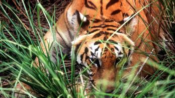 Hogy lehet parfümmel tigrisre vadászni?