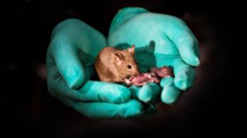 A kínai egerek bevezették a kétanyukás családmodellt
