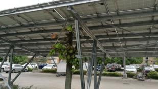Napelemek alatt sínylődnek a fák az Uzsoki utcai kórház parkolójában
