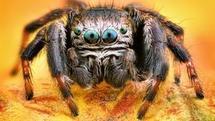 Az antibiotikumoknál is hatékonyabb gyógyszer lehet a pókméregből