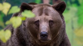 Medve támadt egy szlovák vadászra