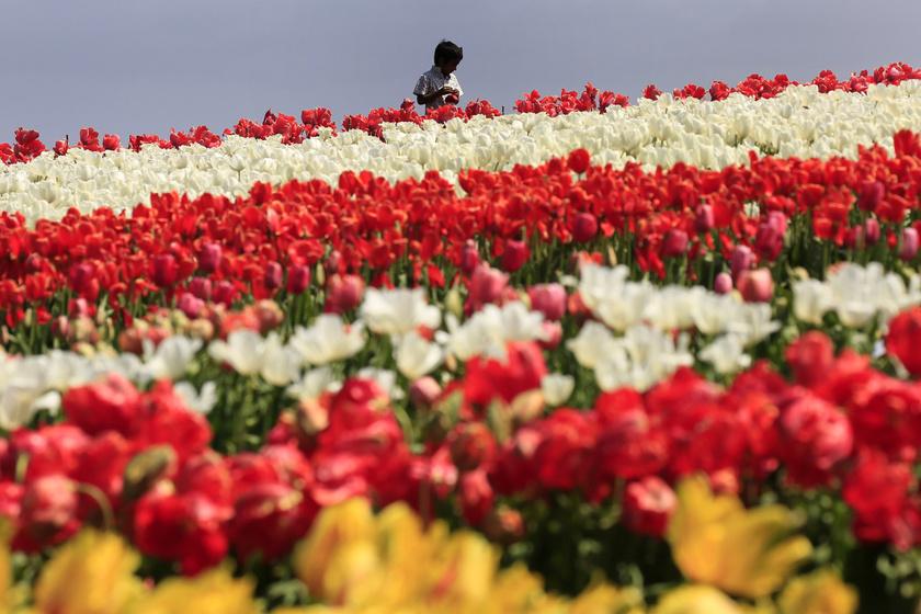 Van, ahol most nyílik a tulipán: képeken a nem mindennapi látvány