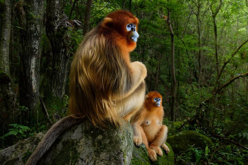 Napokon át követte a hegyekben a majmokat: bámulatos fotó lett az eredménye