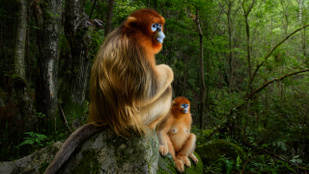 Távolba révedő piszeorrú majmok az év természetfotóján