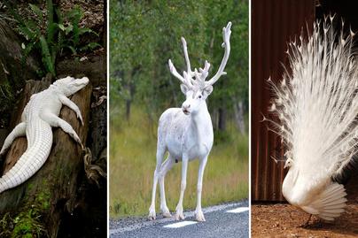 albínó állatok cover