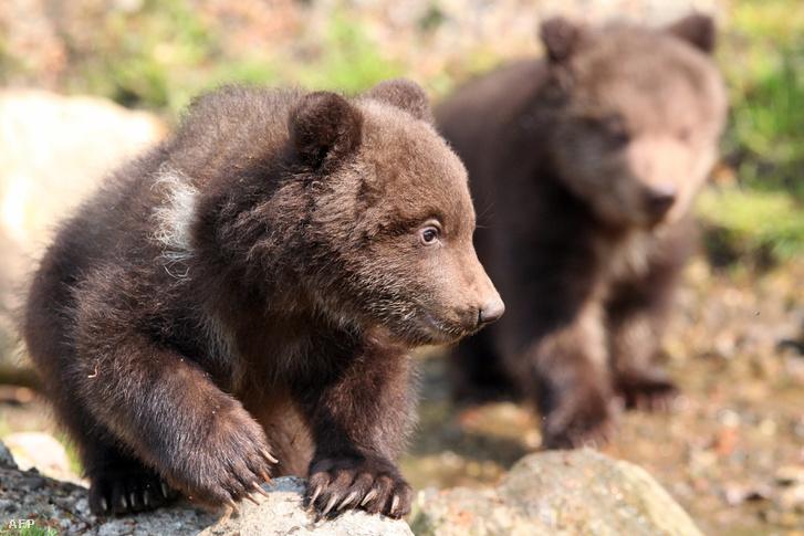 Képünk illusztráció (fiatal kamcsatkai barna medvék)
