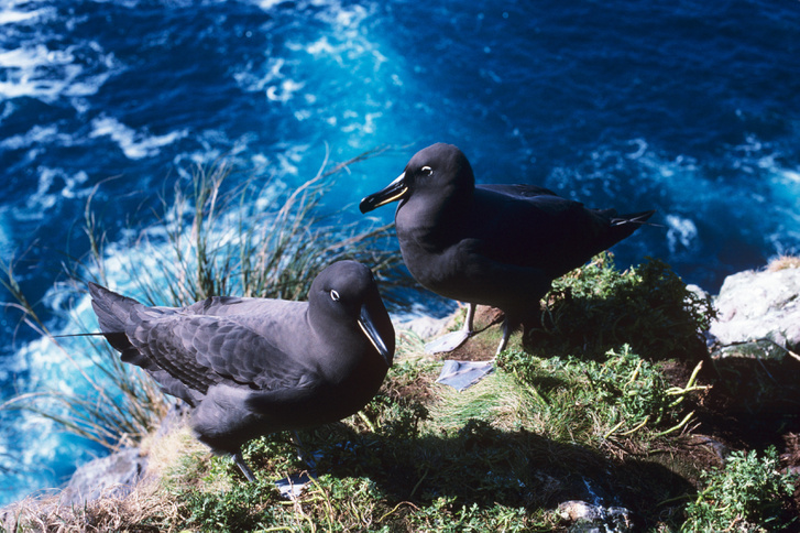 Füstös albatroszpár (Phoebetria fusca) a Gough-szigeten