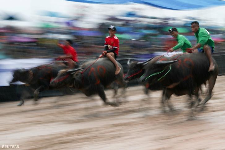 Csonburi, bivalyhajtó verseny, 2018. október 23.