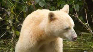 A fekete medve, ami fehér, pedig nem is albínó