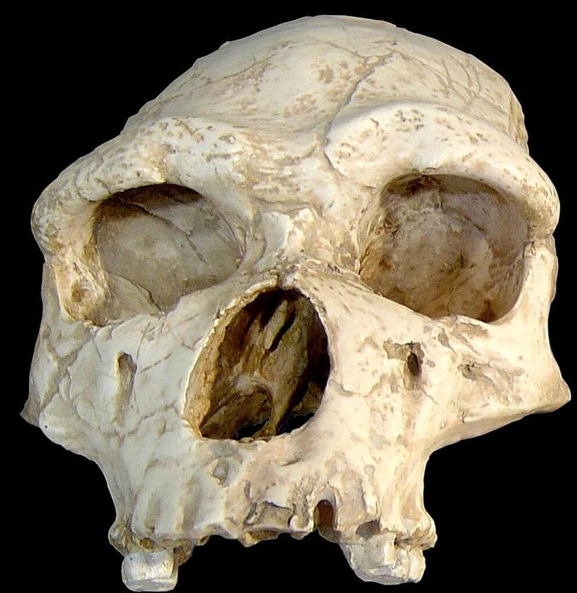 Homo erectus koponya