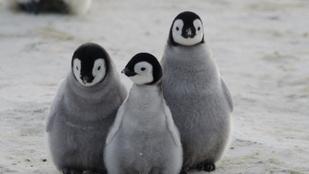 Íme, a pingvinfióka, akinek két apja van