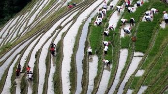 Megoldás éhínségre, édesvízhiányra? Már arattak is a sós vizet tűrő rizsből