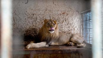 Fokozódik a balkáni állatmigráció: három albán oroszlán juthat el Hollandiába