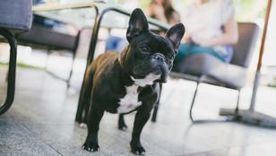 Ezek a kutyafajták azok, akik lakásban is jól érzik magukat