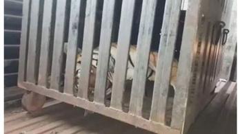 Vadászok áldozata lett T-1, a 13 embert kivégző anyatigris