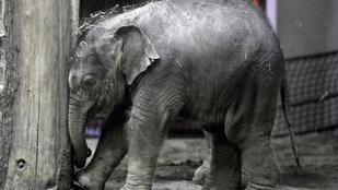 Tortával ünneplik a budapesti állatkertben az egyéves kiselefántot