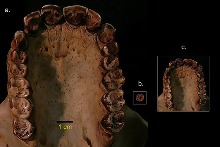 Balra egy csimpánz szájpadlása, középen pedig a Simiolus minutus őrlőfoga, jobb oldalt pedig az Simiolus minutus arányaira csökkentett csimpánz szájpadlás