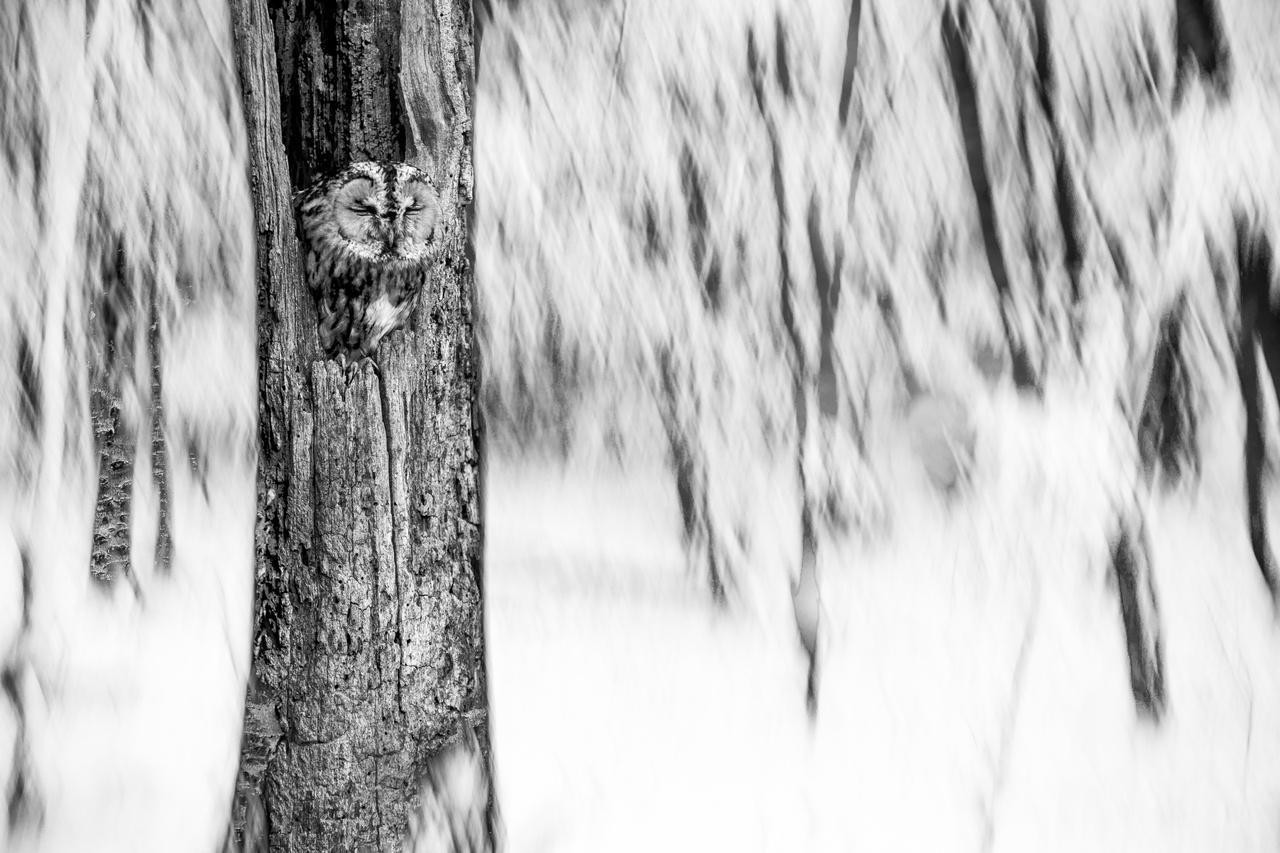 Az Év Természetfotója 2018-ban - Nagy Bertold: Délutáni pihenő  - Miután leesett az első hó, először régi barátomat, egy macskabaglyot látogattam meg. Az oda vezető úton azon gondolkodtam, hogyan tudnám egy különleges képben megörökíteni a téli erdő hangulatát és a délutáni pihenőjét töltő baglyot. Végül a multiexpozíció mellett döntöttem…