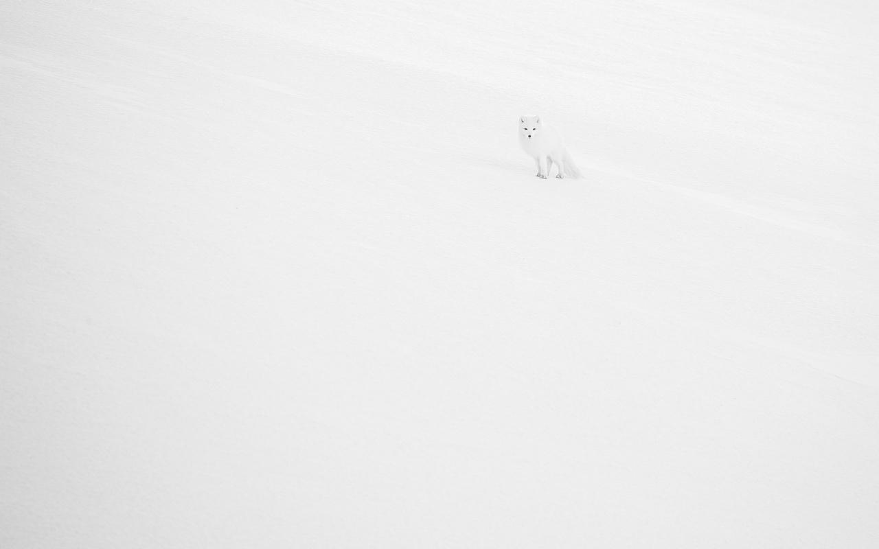 """Fekete-fehér természetfotók - Esteban Sanchez: Pont, pont, vesszőcske... -                          Nagy álmom volt egy kép a sarki rókáról (Alopex lagopus ssp. spitzbergensis), ahogy """"beleolvad"""" a havas tájba. Talán ez a legkedvesebb a több száz képből, amit Svalbardon készíthettem. Mivel a fotó jóval a jegesmedveveszélyt jelző táblákon túl készült, ezért kellett mellém egy megfelelő helyismerettel rendelkező fegyveres kísérő is. Medvét nem láttunk – de szerencsére annál több rókát!"""
