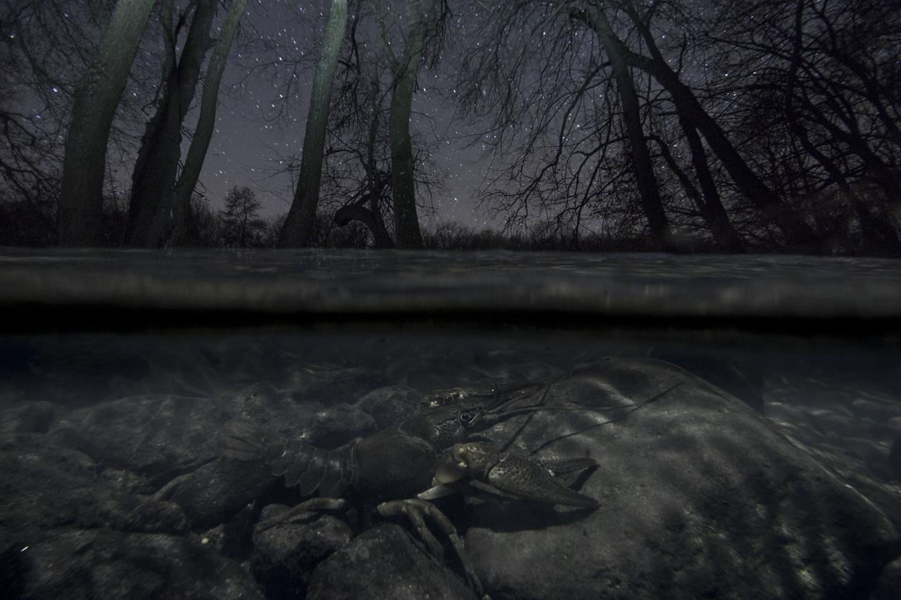 Állatok és környezetük - Potyó Imre: A patak ura -                          Hazánk legritkább őshonos rákfaja, a fokozottan védett, éjjeli életmódot folytató kövi rák egy november végi fagyos erdőben, a Börzsöny egyik tiszta vizű hegyi patakjában. Az elmúlt év legszebb estéin először a még lombos, holdfényes szeptemberi erdőben, később pedig a kopasz fák alatt komponáltunk. Célom olyan csodálatos fajokat is bemutatni, amelyek még a természetfotósok számára is kevésbé ismertek.