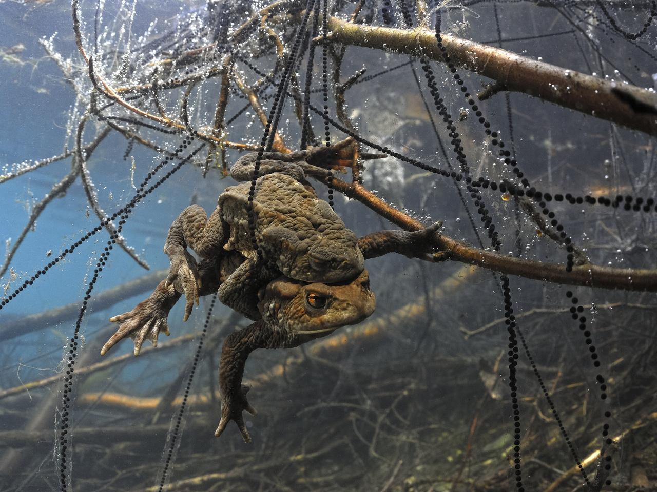 Az állatok viselkedése - 2. díj - Násfayné Kőházi Mária: Petefonalak fogságában -                          Tavasszal, a hűvös vizekben párzó barna varangyok előszeretettel kapaszkodnak meg vízbe hullott ágakon, miközben a nőstények kibocsátják petefonalaikat. A kedvelt helyeken idővel olyan fonalerdő alakul ki, amelybe a későn jövők beleakadhatnak. Miután lefényképeztem, hosszan figyeltem ezt az elakadt párt, és meglepődtem, mennyire nehezen szakadnak, inkább csak nyúlnak ezek a fonalak. Nehezen tudtak szabadulni, pedig az éltető levegőre fel kellett jutniuk…