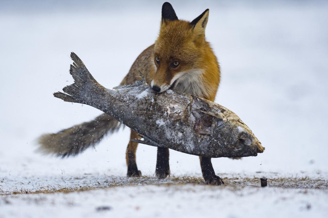 Az emlősök viselkedése - Dícséretre méltó - Maráczi László: A nagyhal -                          Sasfotózás közben a rétisasoknak kitett halat egyszer csak ellopta a ravasz róka. Ügyesen leszedte a tüskéről, és odébb állt vele. A kép épített lesből készült, állvánnyal.