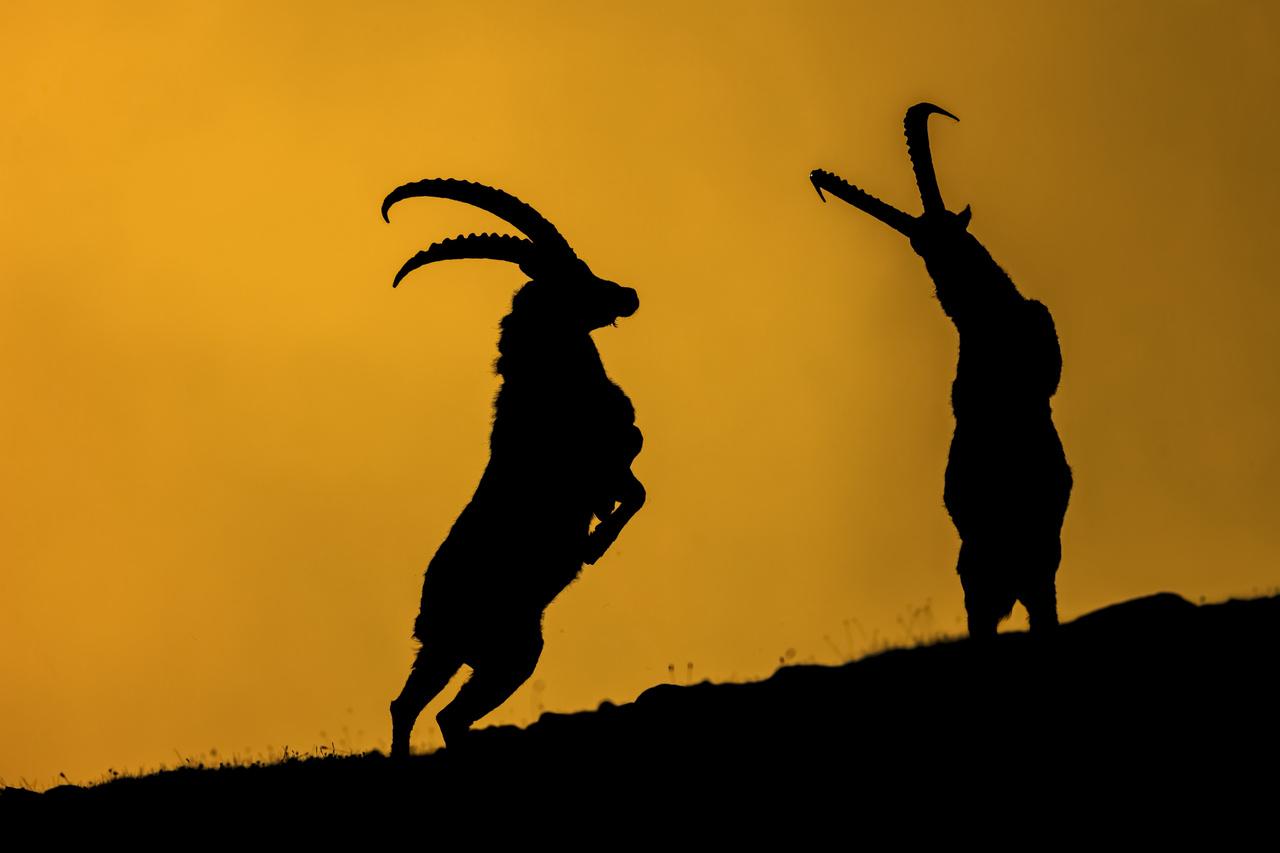 Az emlősök viselkedése - Dícséretre méltó - Kovács Tamás: Tánc az ördöggel -                          Még egy utolsó pillanat azelőtt, hogy a összecsapásának kísérteties hangja megtöri az alpesi hajnal békés csendjét.