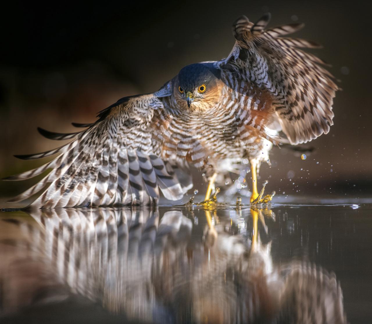 A madarak viselkedése - Dícséretre méltó - Daróczi Csaba: Vízreszállás -                          Egy enyhe decemberi napon a reggeli órákban ültem ki a lesemre, hiszen a téli időszakban ilyenkor a legszebbek a fények. Nem sok madár jár ilyenkor erre, szinte csak a ragadozók. Nemsokára meg is érkezett ez a karvaly, és kereste az ideális helyet a leszállásra. Az itató közepére kialakított hely lett szimpatikus számára. Az objektívem remekül lekövette a mozdulatot, pedig ilyenkor csupán néhány centiméter a mélységélesség.