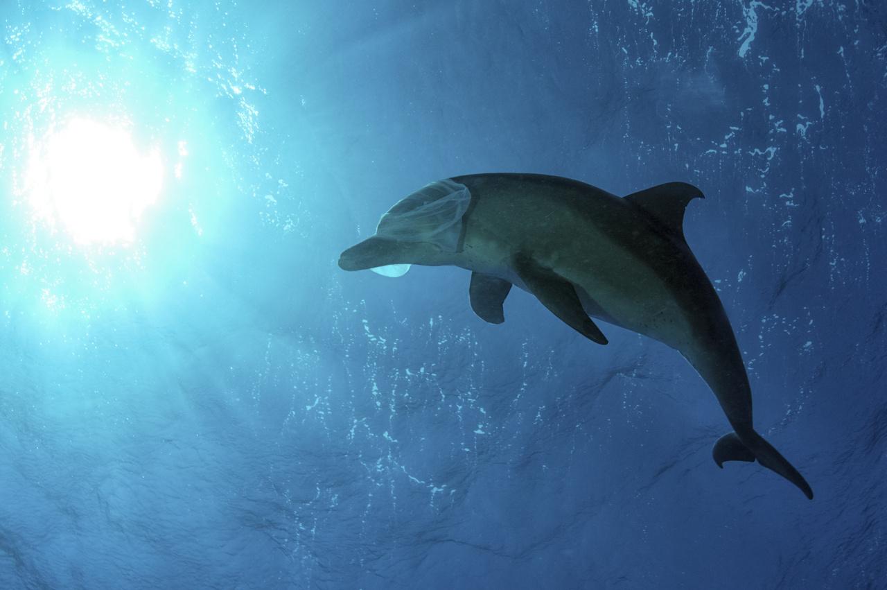 Kezünkben a Föld - 3. díj - Ifj. Lőrincz Ferenc: Nylon - Sajnos egyre több a szemét a tengereinkben, óceánjainkban, és emiatt sok állat pusztul el. A képen egy nylonzacskóval játszó palackorrú delfin látható. Ez a találkozás számára most nem volt végzetes, a delfin inkább játékkén fogta fel, ahogy a fejére húzta a zacskót és a nap felé úszott benne... A kép a Shaab Abu Nuhas Zátonyon, Egyiptomban, a Vörös-tengeren készült.