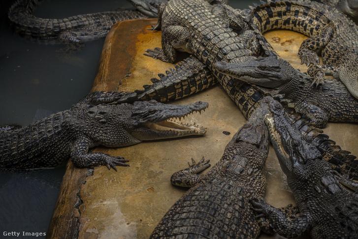 Krokodilok egy indonéziai krokodil parkban.