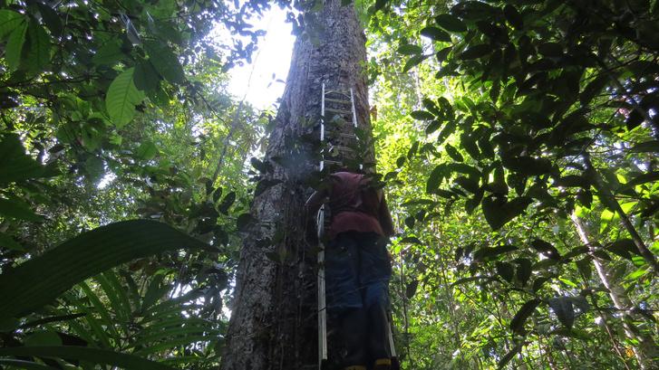 Amazonasi fát mér meg egy kutató