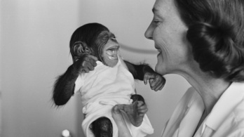 A babák nem úgy nevetnek mint a felnőttek, hanem mint a csimpánzok