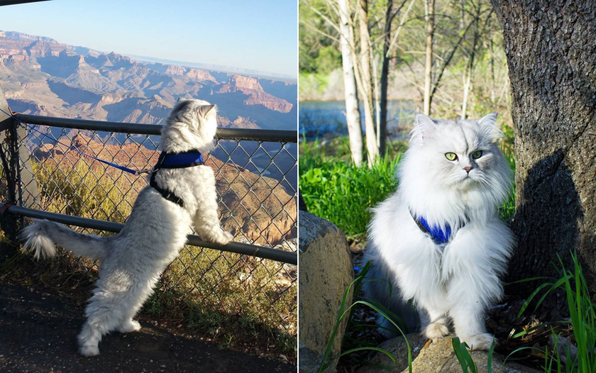 Gandalf csak egy bájos szibériai macska Kaliforniában, viszont gazdáival már bejárta az Egyesült Államokat, és az országon túl is utaztak már. A Grand Canyon látványa valósággal elvarázsolta.