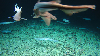 Hatalmas cápakeltetőt találtak Írország mellett