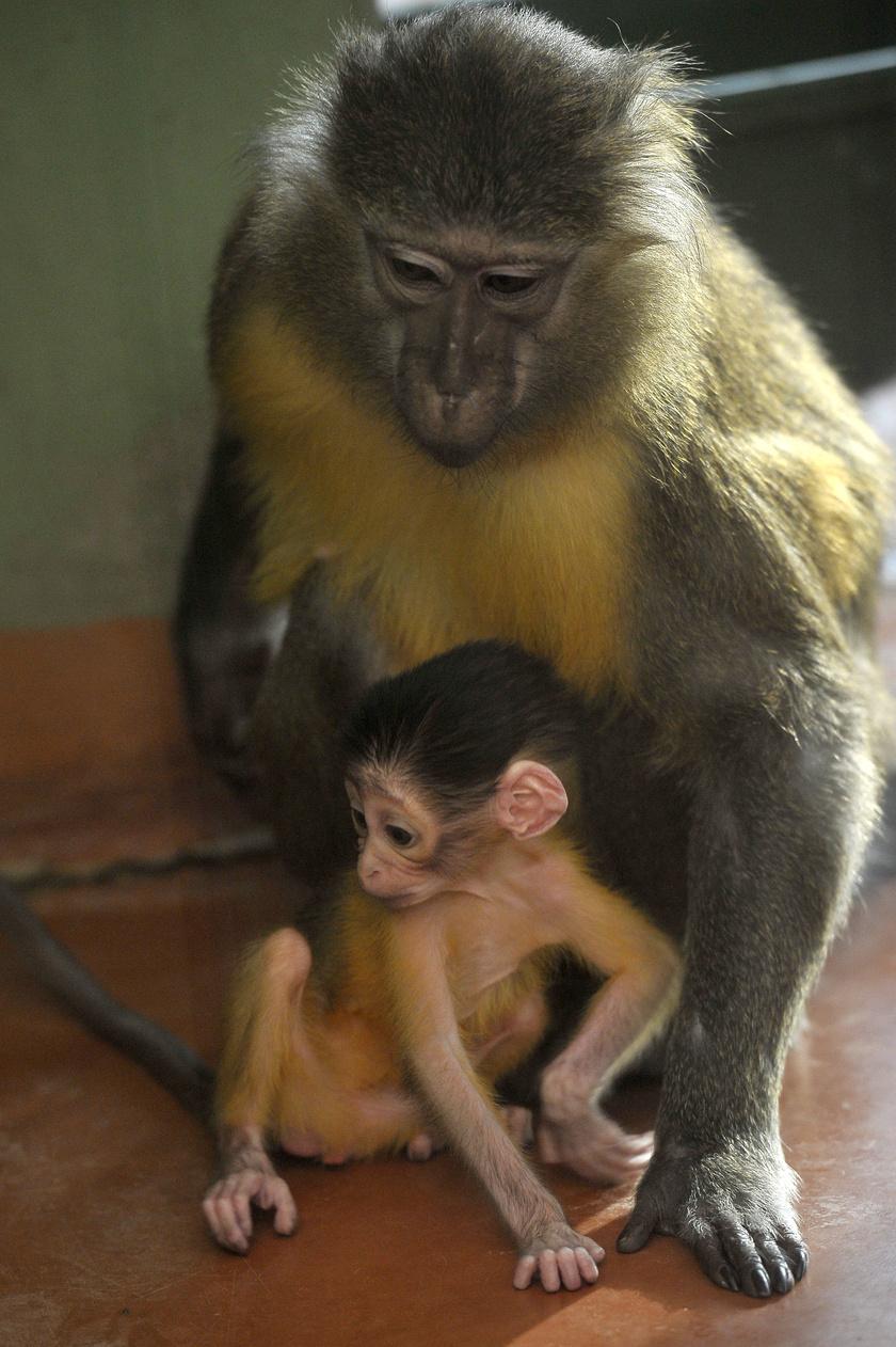 Az aranyhasú mangábé az óvilági majmok, ezen belül a cerkóffélék közé tartozó faj, mely Nyugat-Afrikában, a Kongó-medence sűrű erdőségeiben őshonos.