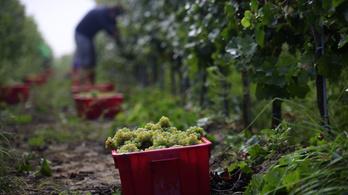 Az utóbbi évek legjobb szőlő- és bortermése lehet az idei