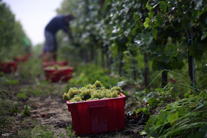 Leszüretelt szőlő a monori Lukácsy pincészet szőlőültetvényén