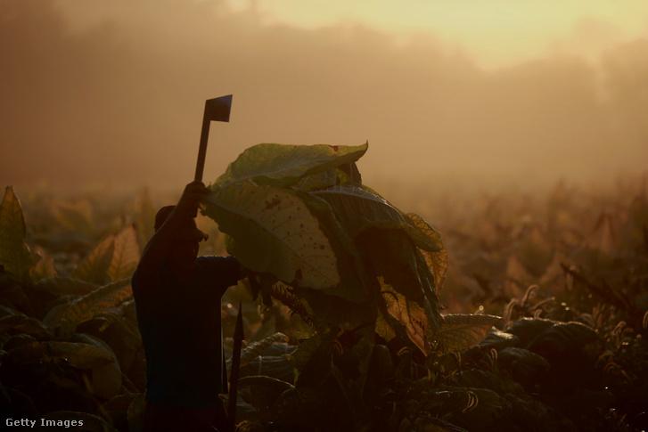 Dohánylevél aratás Kentucky-ban 2014. szeptember 4-én