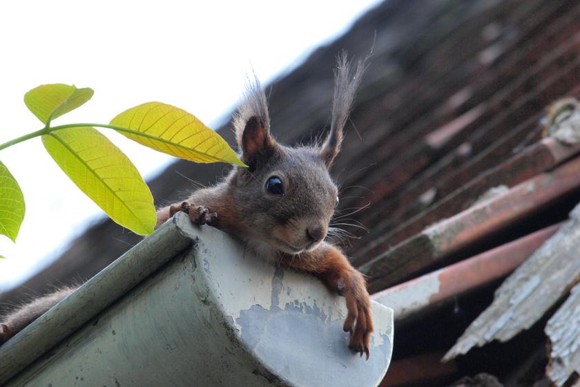 eresz-mókus