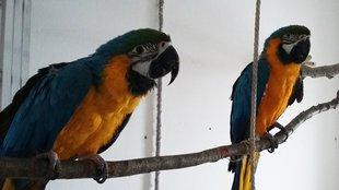 Tarthatjuk kalitkában az ara papagájt?