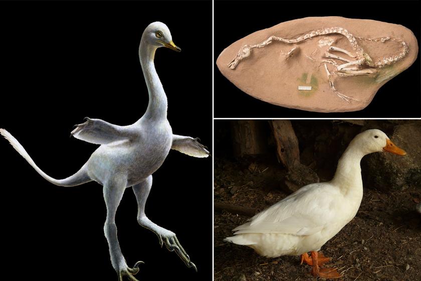 Íme a lény, amely a láncszem a kacsák és a dinók között: egészen cuki
