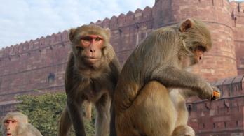 Csecsemőt ölt meg egy majom Indiában