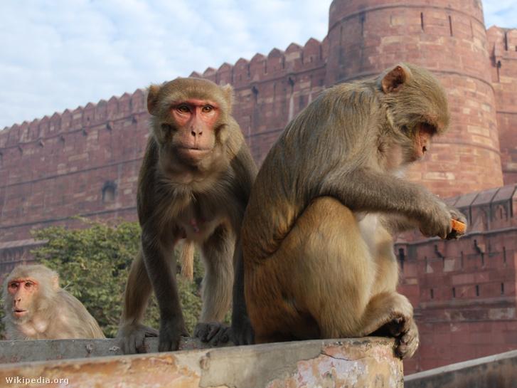 Rhesusmajmok a Vörös erődnél az észak-indiai Agrában