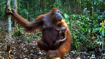 Az orangutánok beszélnek a múltról