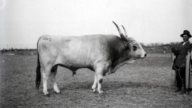 Az uradalmi birtokok erőgépei, a szürke marhák