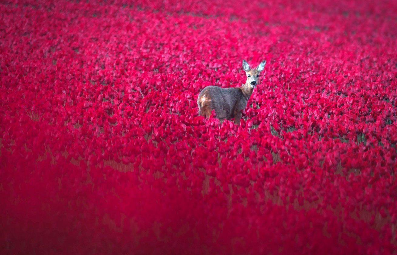 tulipan 5